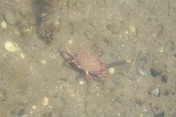 Fresh crabs in waters off of Vancouver Island.
