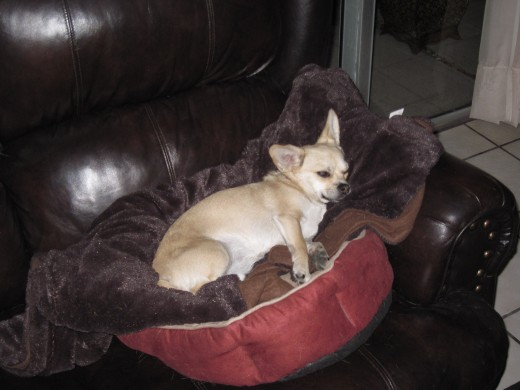 Our chihuahua, Chika, sleeping in her bed on the love seat in our living room