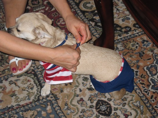 Dressing a chihuahua can be a bit of a challenge.