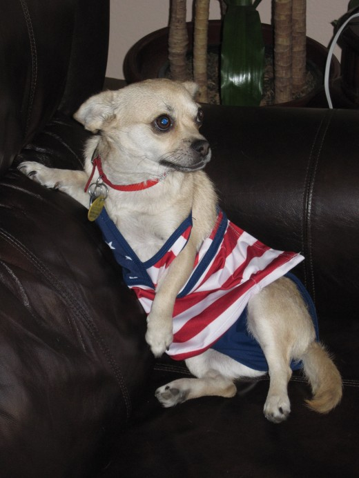 This chihuahua is quite good at modeling baby clothing.
