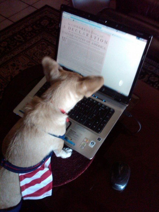 Chihuahuas like other actors and models, research their roles.  Here Chika reads the Declaration of Independence online.