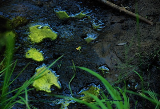 Deer tracks filled with water in the muck at the creek's edge are misshapen and reflect the green light of the canopy above.