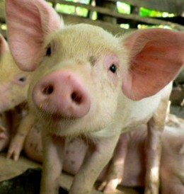 This pig received mouse genes in an experiment. The reason for mouse genes is not clear other than it can be done.