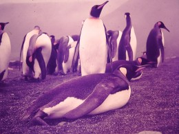 King Penguins are the second most numerous of the estimated three million penguins on MacQuarie