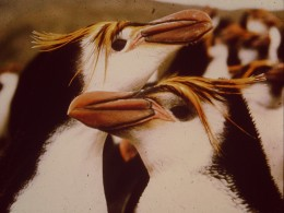 A couple of love-struck Royal Penguins.  Royals are the most numerous species on MacQuarie, there being an estimated around  three quarters of a million at the Hurd Point Rookery alone.