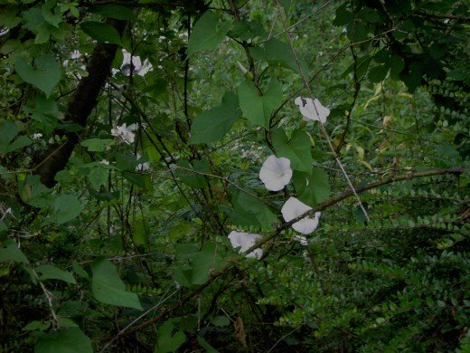 The large flowers of hedge bindweed make them unmistakeable. Photograph by D.A.L.
