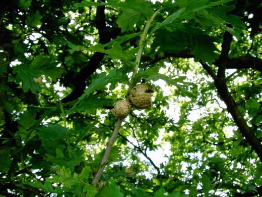 This oak apple gall has been home to the developing grub of a wasp.As we can see the adult wasp has now emerged leaving the tell tale hole in the side of the structure. Photograph by D.A.L.