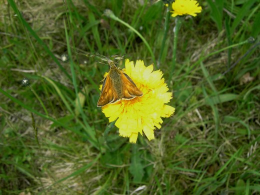 Skipper butterfly on cat's ear a dandelion like plant of the daisy family.Photograph by D.A.L.