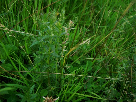 The parasitic red bartsia adorns grassland where it takes nourishment from the roots of grasses Photograph by D.A.L.