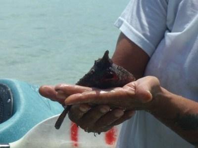 Grumpy Frank the Batfish