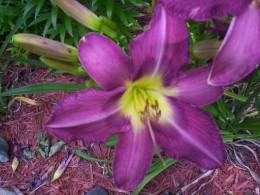 Mountain Violet