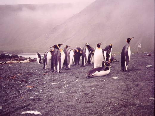 Along every beach the larger pengins, Kings, Royals, Gentoos are found,competing for space with the numerous seals.