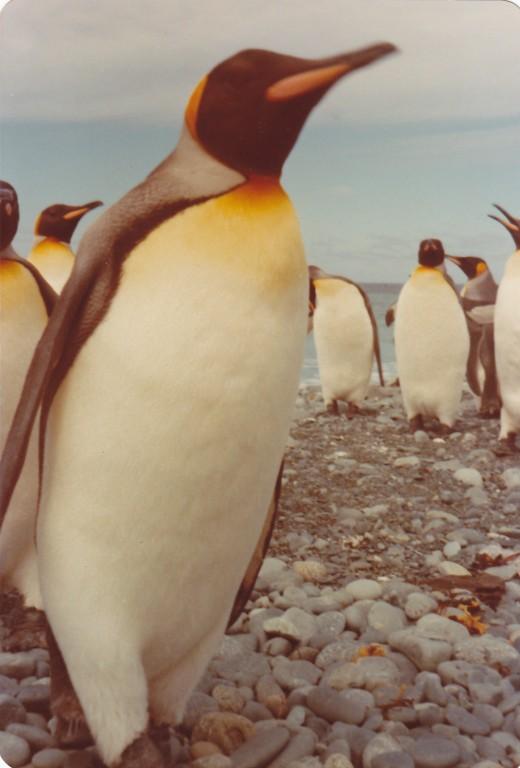 Close up of a King Penguin, MacQuarie Island 1977