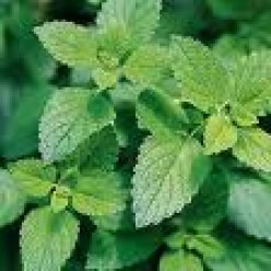 Growing and Using Lemon Balm and Other Lemon Herbs