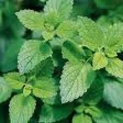 Growing and Using Lemon Balm and Other Lemon Herbs