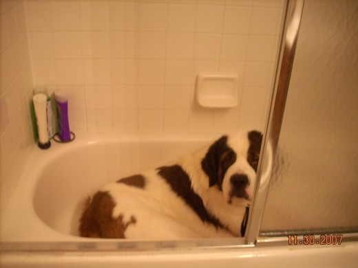 Boomer  my Saint, takes over the tub