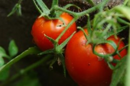 Propagate tomatoes for the fall season.