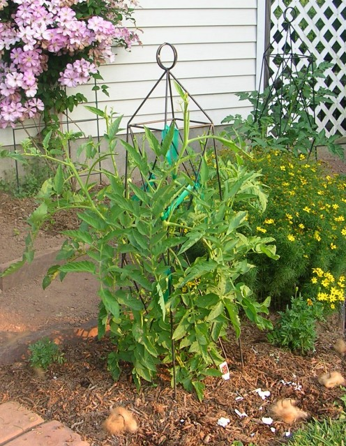 The top third of this tomato plant and 17 green tomatoes have been destroyed. Photo by Sally's Trove.