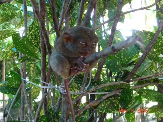 another pic of the tarsier