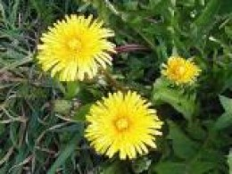 edible dandelion flowers and leaves