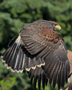 This is a female Harris hawk on a fist eating some food (see how it covers the food with it's wings) this is the birds way of saying this is mine.