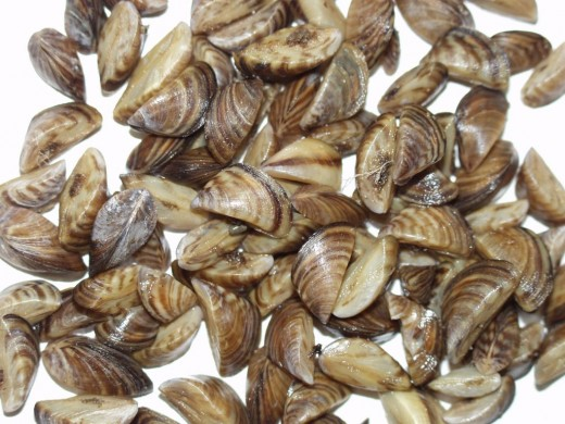 zebra mussels invaded the fresh waterways of the US and took over the whole region in a single year and virtually wiped out food fish species.