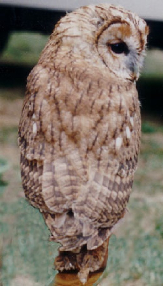 Tawny owls are wisened birds. Picture courtesy of jimfbleak