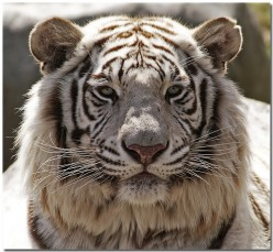The Only White Tiger In Great Britain