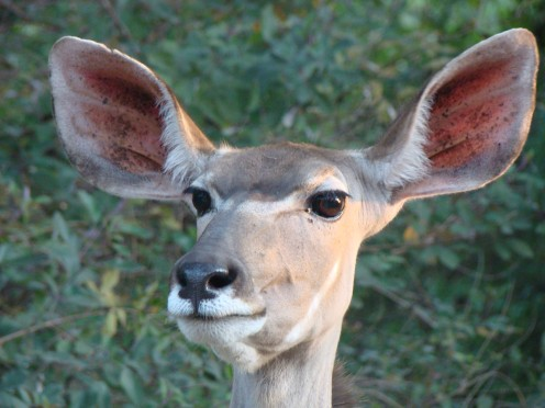 This photo of a kudu taken by my teenage daughter Siobhan in Zambia on the way down