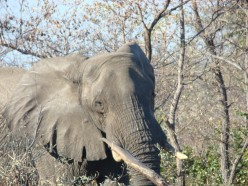Elephant taken by Siobhan in Botswana
