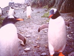 Pairs of Gentoo Penguins. One complements the other