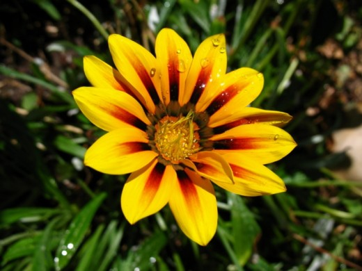 Daisy like cultivars, are popular garden plants.