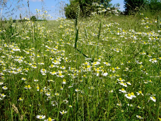 The scentless mayweed, is an attractive plant. Photograph by D.A.L.