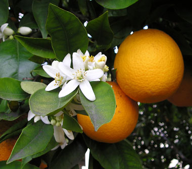 Fragrant orange blossoms are a traditional wedding favor in Spain.