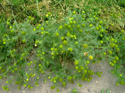 Pineapple weed .Photograph by D.A.L.