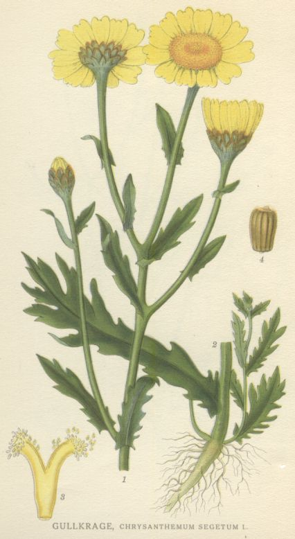 Components of the corn marigold.