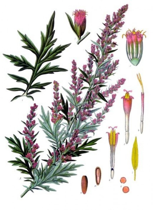 components of the mugwort.