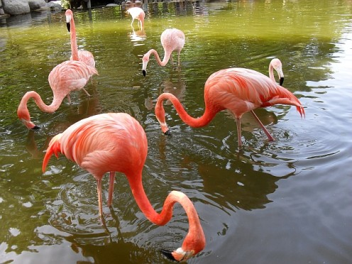 The Caribbean flamingo colony by the zoo entrance, includes more than 90 specimens.