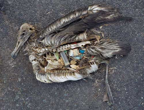 This dead albatross, an inhabitant of the south Pacific has decayed enough to reveal a gut filled with plastic. This is typical of hundreds of thousands of fish, mammals and birds in the Pacific Ocean.