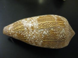Brown and White Textile Shell is also known as Conus textile.  It's a type of sea snail or shell of the family Conidae.  It is venomous.