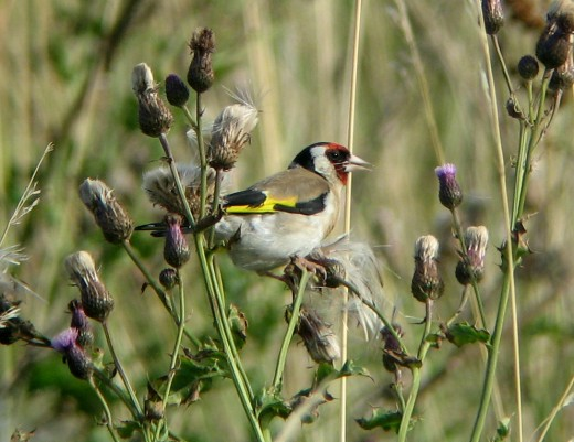 This beautiful photograph of the gold finch is courtesy of M.P.F.