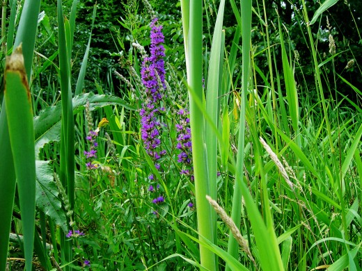 The tall spires of purple loosestrife are a joy to see. Photograph by D.A.L.