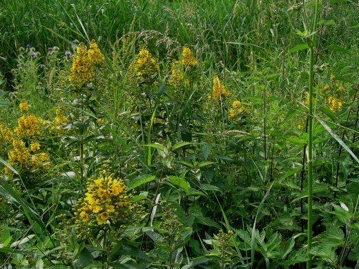 Yellow loosestrife also abounds in this location. Photograph by D.A.L.