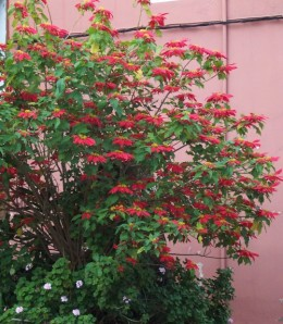 Poinsettia bush Photo by Steve Andrews