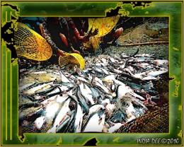 Gathering fish at MeKong catfish farm - Abstract design