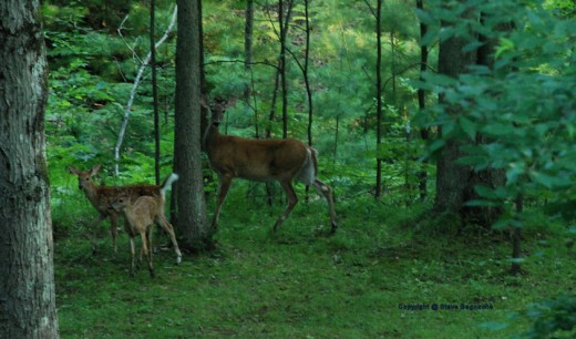 The fawns and doe listened carefully and quickly were spooked by the sound of the camera's shutter.