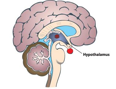 Hypothalamus dictates yawning!