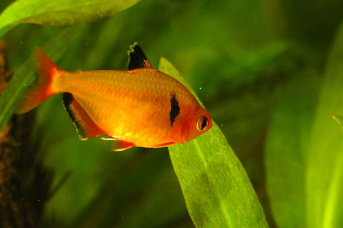 Tetra freshwater tropical fish