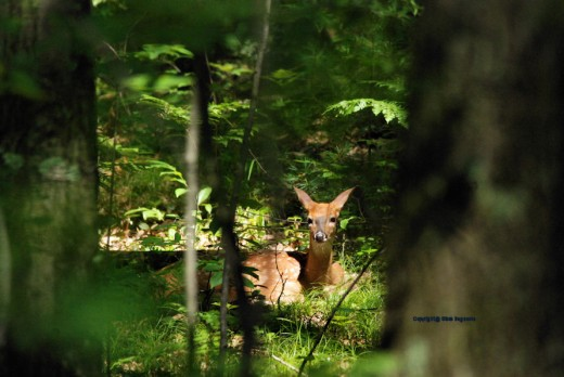 A fawn glances my way while resting in the woods this afternoon.