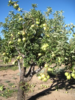 Apple tree laden with ripe Granny Smith Apples